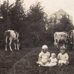Wypas bydła w Wyrębie z widokiem na ruiny starego młyna - 1937 r.