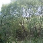 Cieślin - Gołąb na wierzbie w rejonie Jeziorka