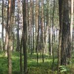 Cieślin - Las na Dołkach