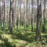 Cieślin - Las w Wyrębie