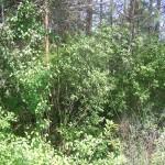 Cieślin - Zarośnięta okopa z czasów II wojny światowej w rejonie Góry Golczowskiej (1)