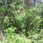 Cieślin - Zarośnięta okopa z czasów II wojny światowej w rejonie Góry Golczowskiej (2)
